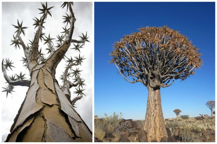 В прошлом бушмены и готтентоты использовали выдолбленные ветви дерева как колчаны для стрел.