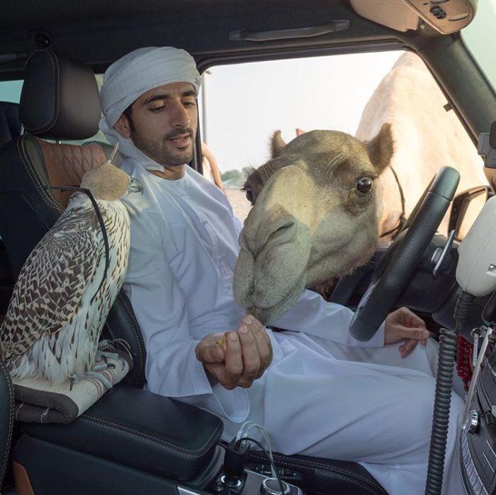 Наследный принц Дубая и один из самых завидных холостяков мира угощает заглянувшего в окно машины верблюда вкусняшками.