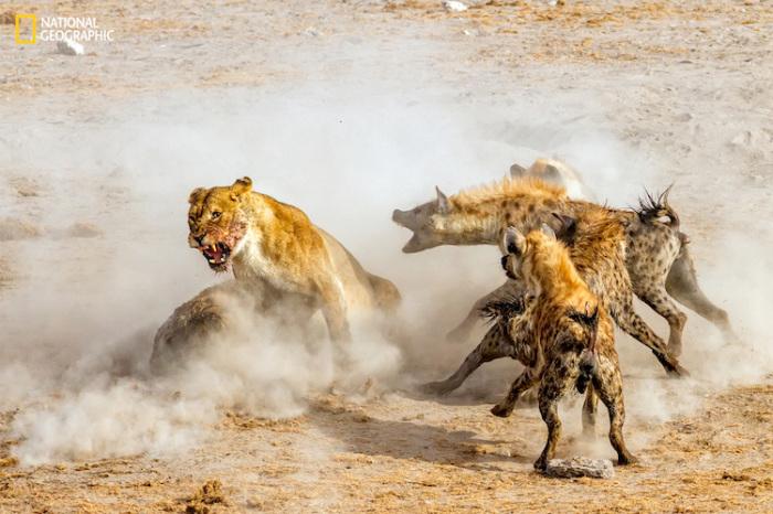 Львы и гиены борются за тушу антилопы в национальном парке Этоша в Намибии. Автор фотографии: NingYu Pao.