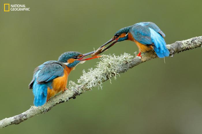 Пара зимородков обмениваются добычей. Автор фотографии: (Andres Miguel Dominguez).