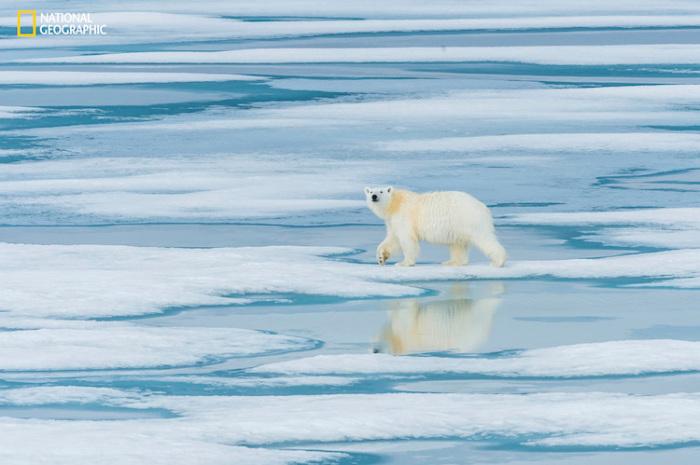 Одинокий белый медведь бродит по льду в поисках пищи. Автор фотографии: Билл Клипп (Bill Klipp).