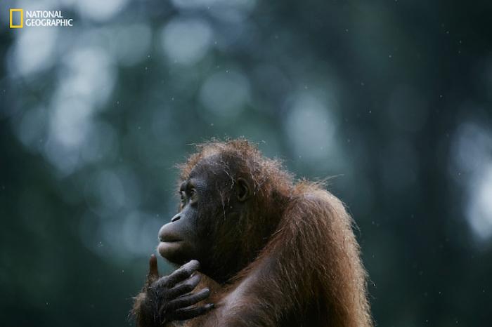 Задумчивый орангутан. Автор фотографии: Йосуки Кашивакура (Yosuke Kashiwakura).