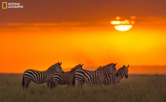 Зебры в Национальном заповеднике Масаи Мара в Кении. Автор фотографии: Жайнн Джеймс (Zhayynn James).