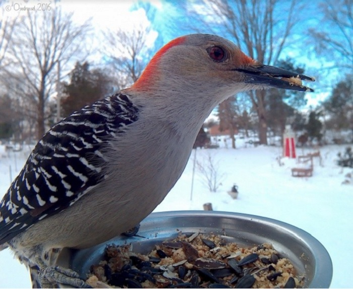 Небольшая птица отряда дятлообразных.