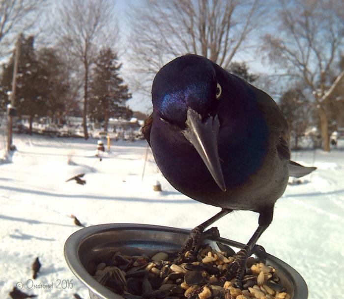 Гракл представляет собой большую птицу, размером с ворона.