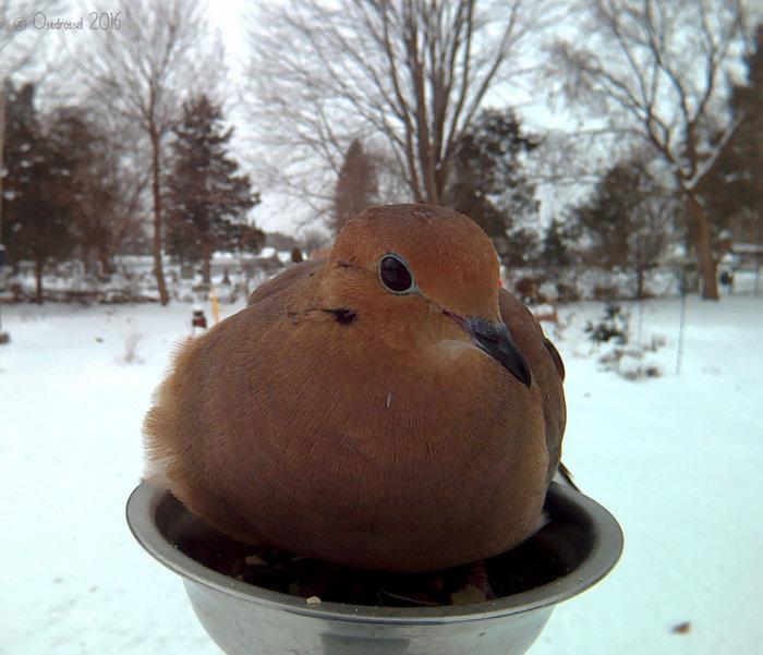 Мелкая птица, которая по размерам и принадлежит к группе земляных голубей.