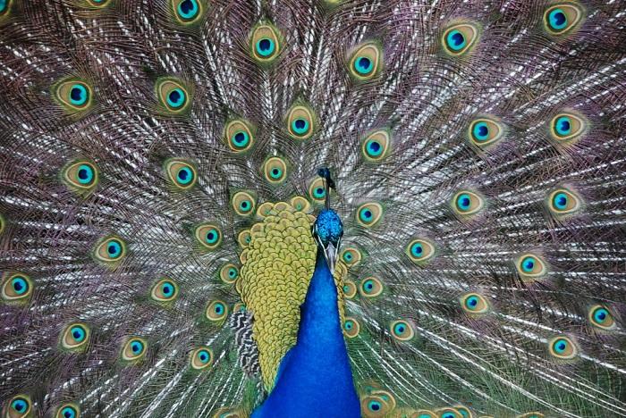 Крупная птица из подсемейства фазановых.