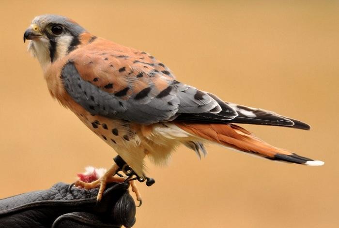��������� ��������� (Falconidae).