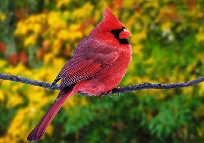 Певчая птица семейства кардиналовых.