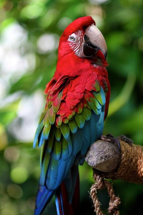 Птица семейства попугаевых.