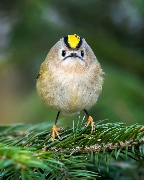 Крошечная птица северного полушария, на снимке фотографа, в своей естественной среде обитания.