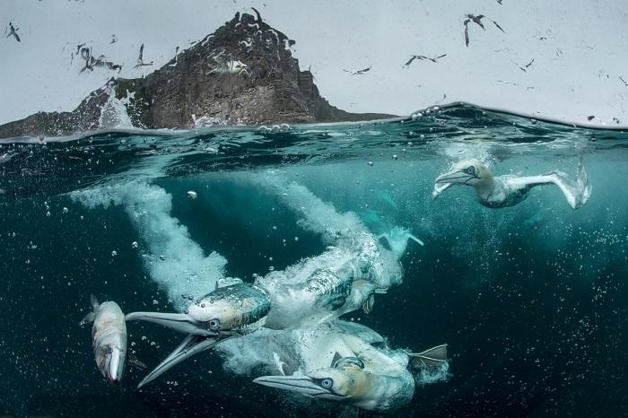 Победитель в категории «Поведение птиц» и приз зрительских симпатий. Автор фотографии: Ричард Шуксмит (Richard Shucksmith), Великобритания.