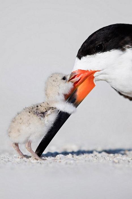 Бронза в категории «Поведение птиц». Автор фотографии: Томас Чадвик (Thomas Chadwick), США.