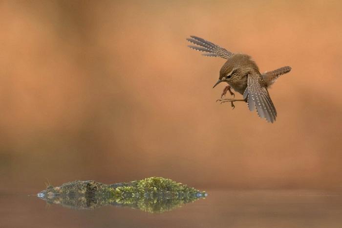 Бронза в категории «Птицы в полете». Автор фотографии: Роелоф Моленаар (Roelof Molenaar) , Нидерланды.