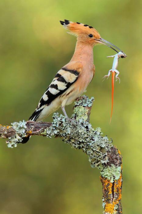 Хохлатая птица много времени проводит на земле в поисках насекомых, реже ее добычей становятся ящерицы.