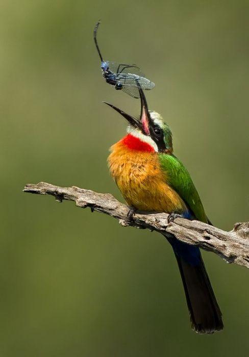 Как и все представители семейства щурковых, яркоокрашенная птичка предпочитает лакомиться осами, пчелами и стрекозами.