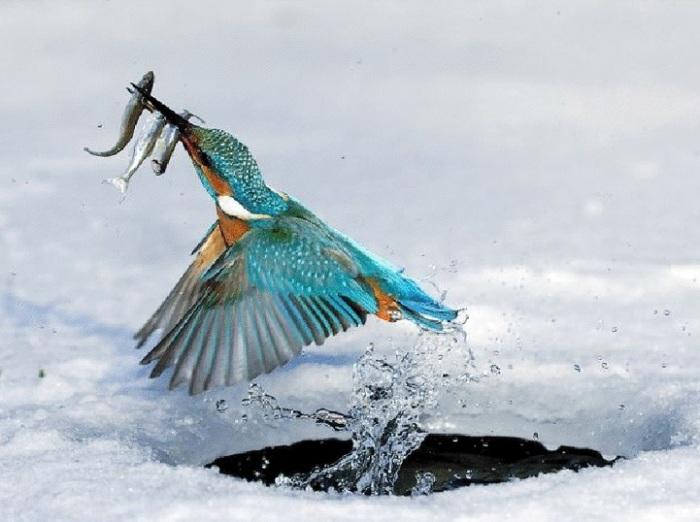 Маленькая короткохвостая птичка питается мелкой рыбой, за которой охотится с воздуха.