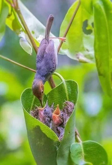 Незаметная птичка, которая самостоятельно шьет себе гнезда, питается мелкими насекомыми и пауками.