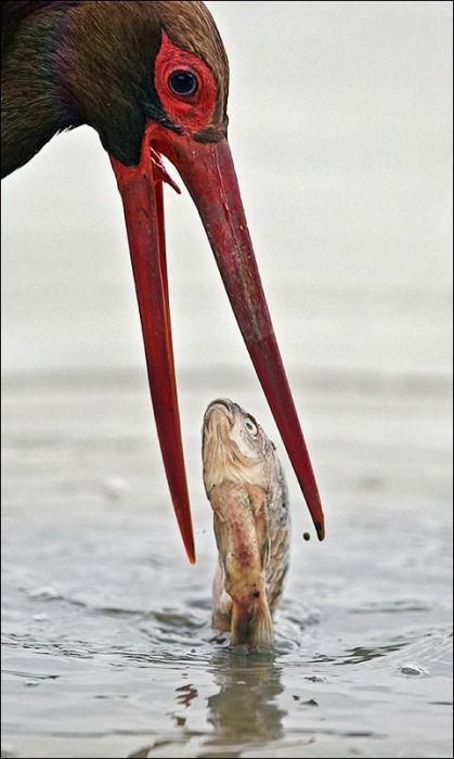 Редкая и скрытная птица в основном питается рыбой и мелкими водными животными.