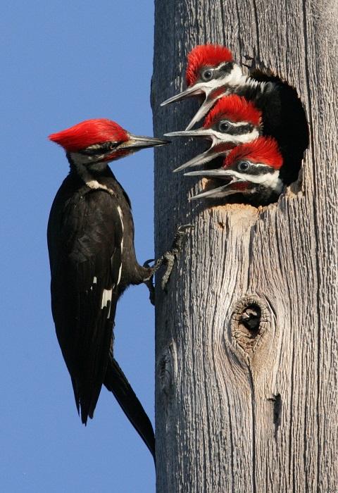 Один из крупнейших представителей семейства дятловых в основном питается древесными муравьями и личинками жуков.