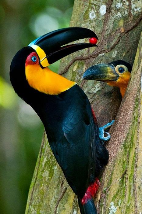 Довольно необычный массивный клюв это яркой птицы прекрасно подходит для добывания насекомых и фруктов.