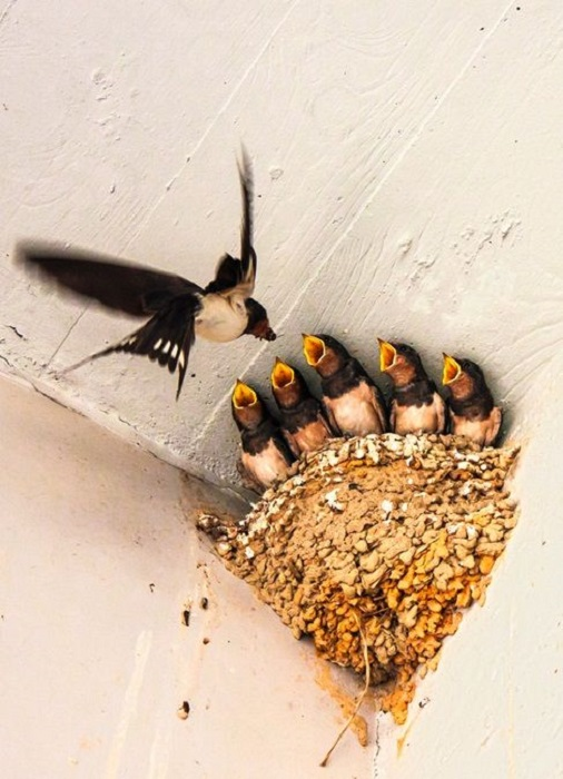 Проворные ласточки питаются мухами, стрекозами и летающими жуками, которых ловят в полете.