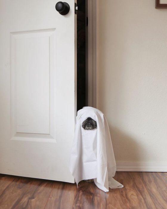 Костюм на Хэллоуин готов, я буду привидением.