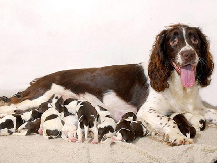 Мама спаниель со своими детёнышами.