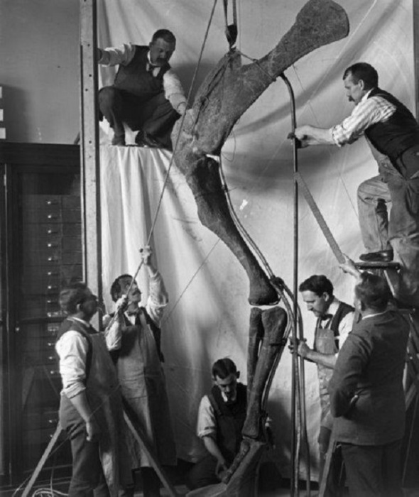Работники музея и археологи собирают ногу динозавра, 1916 год.