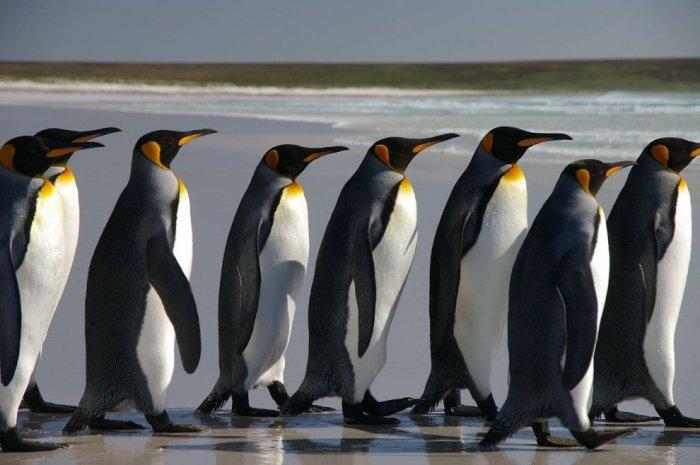 Максимальное количество людей, собравшихся в одном месте в костюмах пингвинов, составляет 624 человека, рекорд был установлен  в Лондоне (Великобритания) 12 ноября 2015 года.