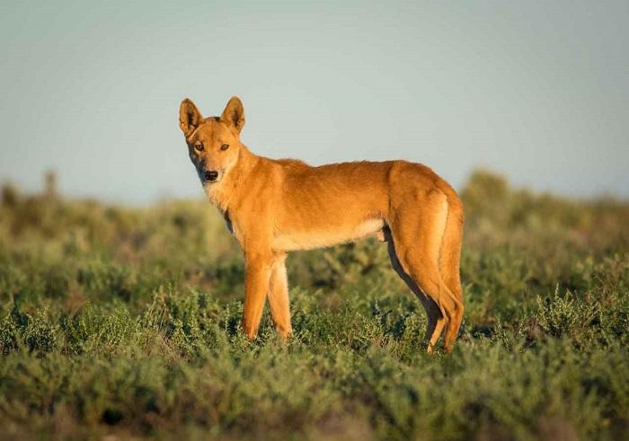 Рыжие австралийские «пришельцы» представляют собой единственный пример собаки, которая вторично одичала. /Фото: animaljournal.ru