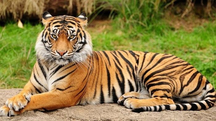 Грациозные и сильные хищники являются самыми многочисленными из подвидов тигра. /Фото: ytimg.com