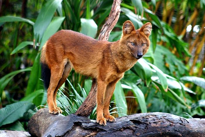 Этот редкий вид объединил в себе черты таких известных хищников как волк, шакал и лисица. /Фото: wildcru.org