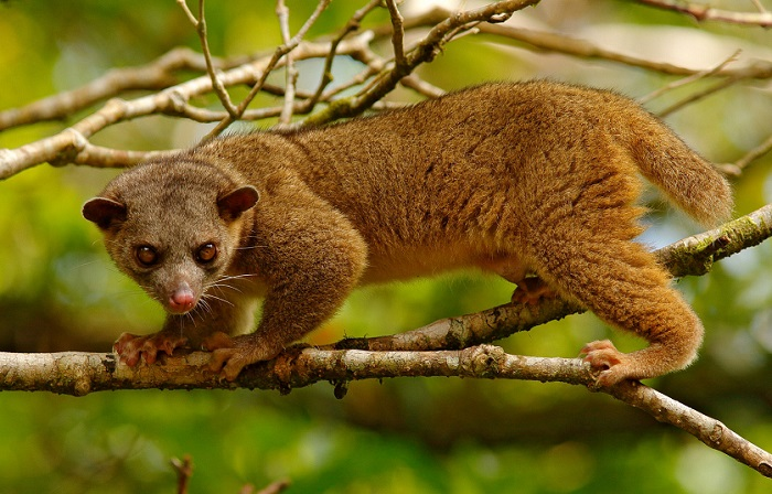 Небольшие древесные зверьки известны своей рыжевато-бурой плюшевой шерсткой и ласковым нравом. /Фото: 29palms.ru