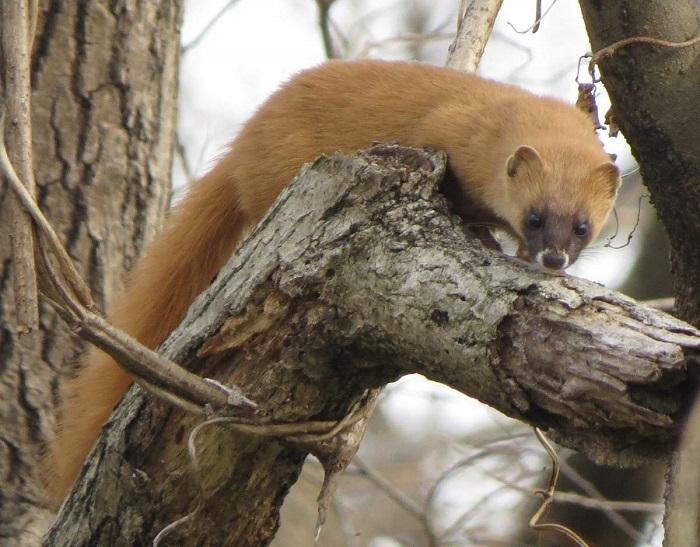 Небольшой рыжий хищник с гибким длинным телом относится к семейству куньих. /Фото: animalreader.ru/