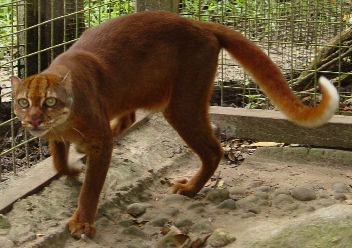 Самой большой угрозой существования редчайшей и малоизученной дикой кошки стала крупномасштабная вырубка лесов. /Фото: animalreader.ru/