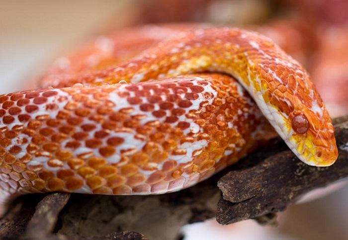 Необычная рыжая расцветка – одна из самых главных примечательных особенностей этой удивительной рептилии. /Фото: tutknow.ru