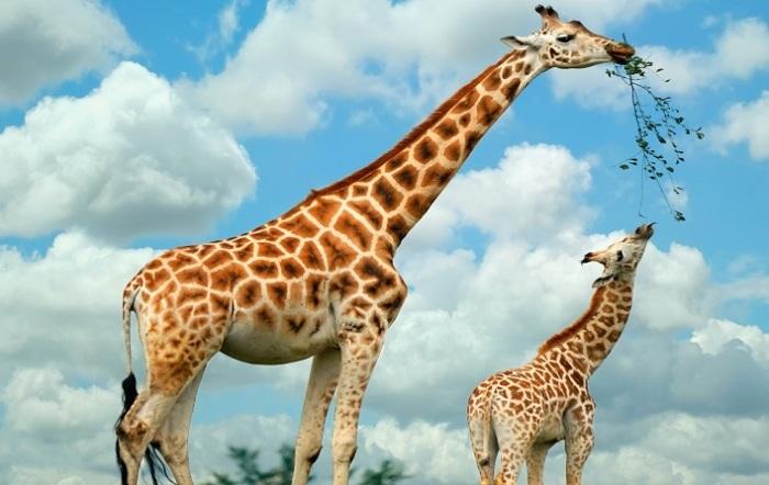 Узор из рыжих пятен у самых высоких животных планеты индивидуален, как и у зебры. /Фото: today.kz