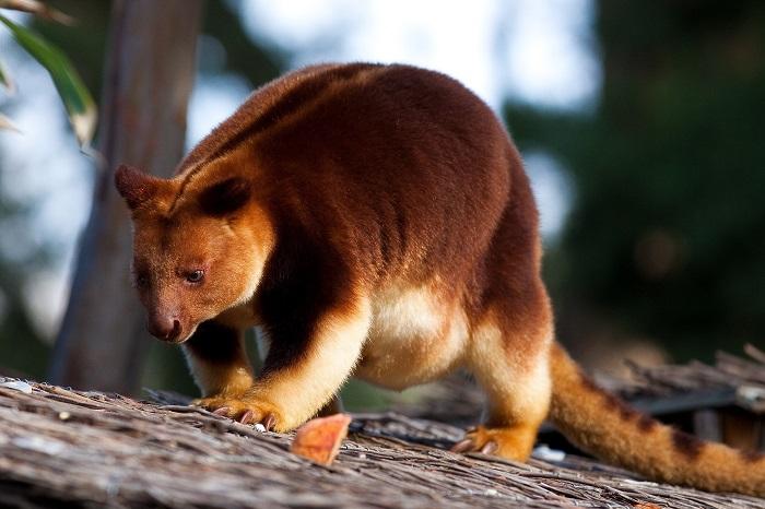 Эти яркие животные из семейства кенгуровых совсем не умеют прыгать по земле, зато отлично карабкаются по деревьям. /Фото: telegraf.com.ua