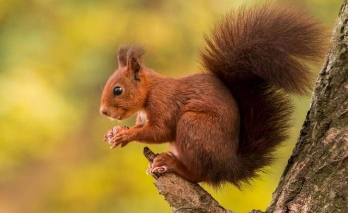 Шустрый рыжий грызун способен менять цвет совей шубки в зависимости от сезона. /Фото: nashzeleniymir.ru