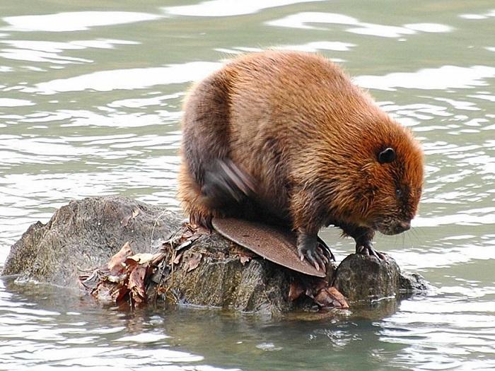У самых крупных грызунов североамериканского континента красивая рыжая и практически водонепроницаемая шерсть. /Фото: animal-book.ru