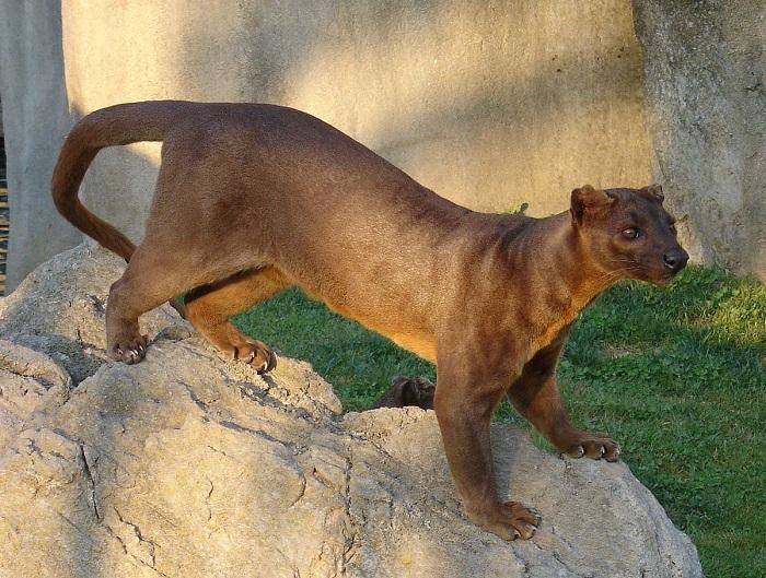 Самый крупный хищник острова Мадагаскар покрыт короткой гладкой шерстью ржаво-коричневого окраса. /Фото: wikimedia.org