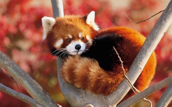 Из-за ярко-рыжего окраса это симпатичное животное называют «огненной лисицей» и именно она изображена на логотипе «Mozilla Firefox». /Фото: pikabu.ru