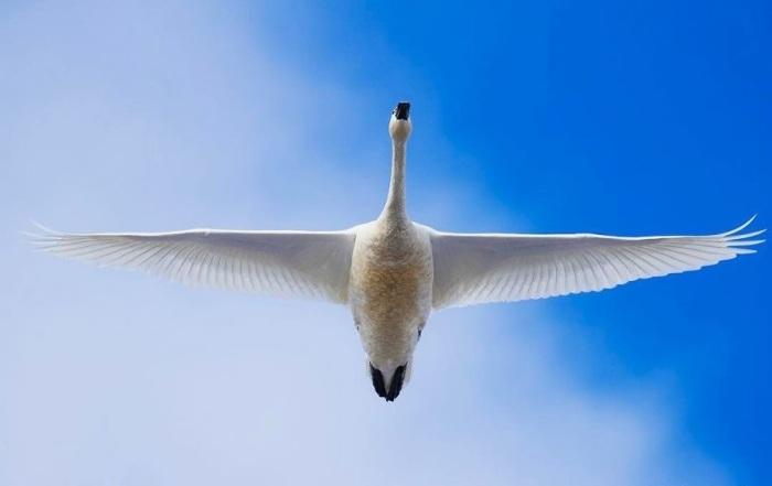 Прекрасные и величественные белые птицы с контрастным черным клювом селится в самых глухих и труднодоступных местах тундровой зоны северного полушария.