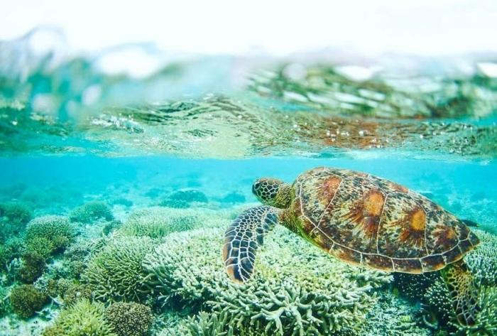 На самом южном коралловом острове Большого барьерного рифа в период с октября по декабрь происходит кладка яиц и появление на свет детенышей морских черепах.