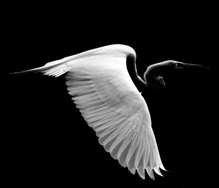Благодаря окраске, а также плавным и величественным взмахам крыльев эта птица особенно красива в полете.