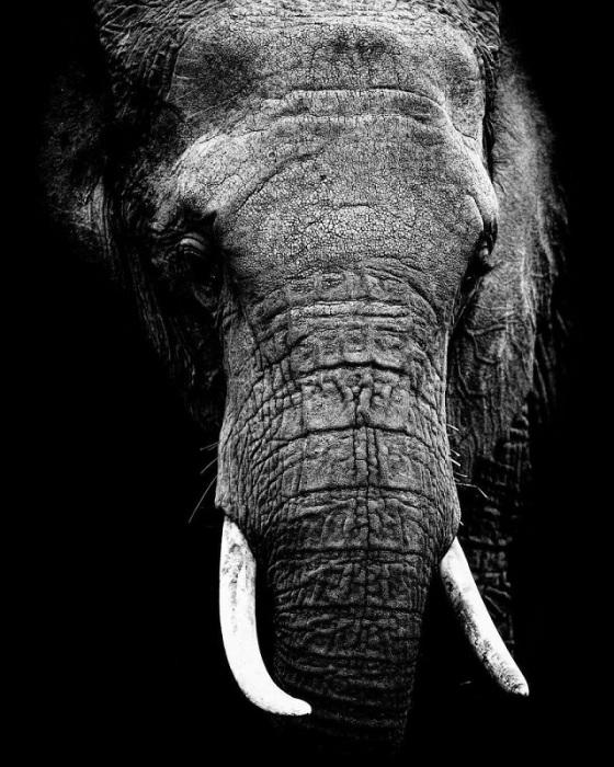 Самые гигантские сухопутные животные на Земле до 20 часов в сутки посвящают поискам еды.
