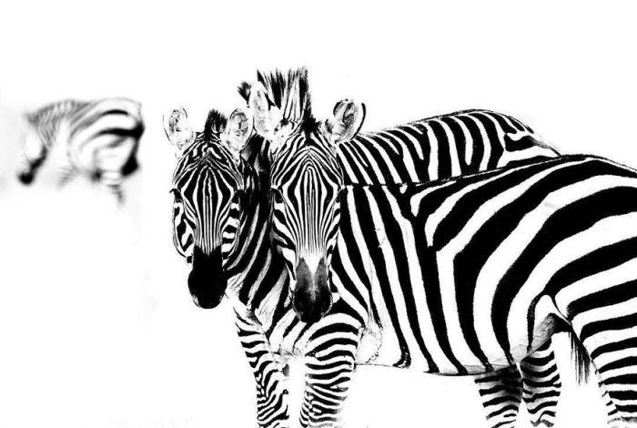 Полоски на шкуре зебры неповторимы - их уникальность можно сравнить с отпечатками пальцев человека.