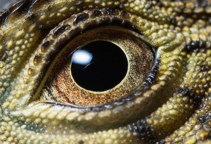 Эти светло-зеленые ящерицы с тёмными полосами на спине и хвосте способны находиться под водой до 90 минут!