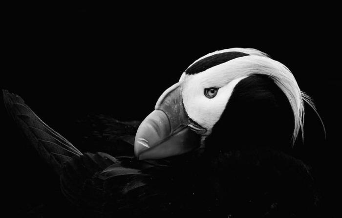 Тупики прекрасно бегают, а по плаванию являются признанными чемпионами: находясь под водой, они часто-часто машут крыльями, будто летят - ни одна другая птица не владеет таким стилем плавания.